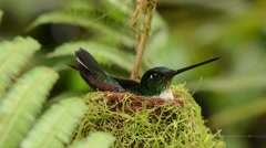 Collared Inca Hummingbird on nest Stock Footage