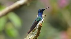 White-necked Jacobin male at perch Stock Footage