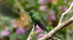 Violet-tailed Sylph Hummingbird male looking around Stock Footage