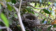 Sardinian warbler (Sylvia melanocephala) nesting Stock Footage