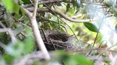 Sardinian warbler (Sylvia melanocephala) nesting - stock footage