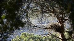 Goshawk (Accipiter gentilis) Stock Footage