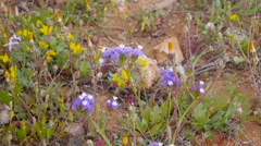 Blue wildflowers. closeup Stock Footage