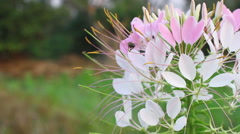 Bee on Pink And White Spider flower(Cleome hassleriana) in the garden Stock Footage