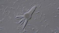 Gregarine (Apicomplexan protozoa) Stock Footage