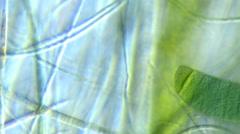Cyanobacteria (Phormium sp.) Stock Footage