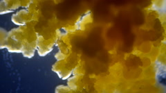 Mite feeding on bacteria Stock Footage