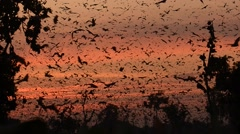 Fruit bats over Kasanka swamp, Zambia Stock Footage
