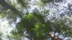 Low, slowly spinning angle looking up at the treetops in a forest Stock Footage
