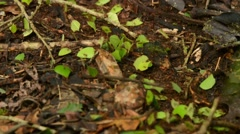 Leaf-cutter Ants carrying leaves Stock Footage