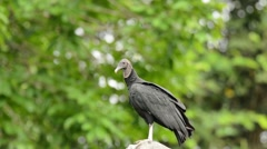 Black Vulture looking around Stock Footage
