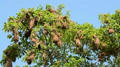 Yellow-rumped Caciques at nests Stock Footage