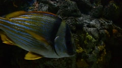 Porkfish Stock Footage