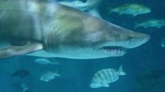 Sand Tiger Shark Stock Footage