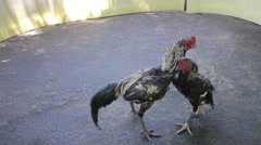 Cock fight rehearsal in thailand Stock Footage
