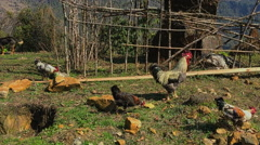 Mountain countryside landscape HD video. Village farm animals: chicken rooster - stock footage