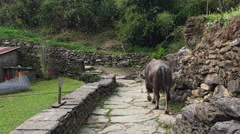 Cow walking on mountain stones rocks road. Animals back view HD video. Stock Footage