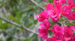 Bougainvillea pink color with wind Stock Footage