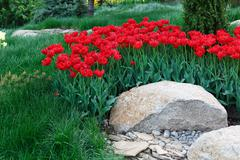 Beautiful scarlet red tulips flowerbed closeup. Flower background - stock photo