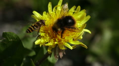 Close-up of a bumble bee and a fly on a flower Stock Footage