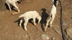 Goat kid walk on rocks ground. Farm animals HD video. Stock Footage