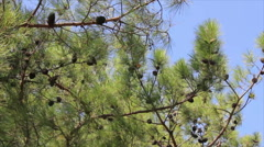 Pine branches on the wind Stock Footage