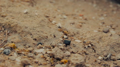 Closeup shot of a group of black ants walking on dirt Stock Footage