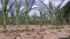 Corn crop dry and destroyed by severe drought Stock Footage