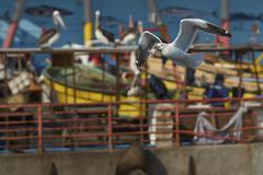 Kelp Gull in Flight - stock photo