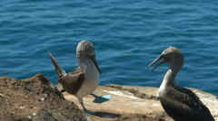 A blue-footed booby dancing in the galalagos islands, ecuador Stock Footage