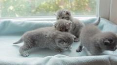 Blotched tabby kittens breed Scottish Fold - stock footage