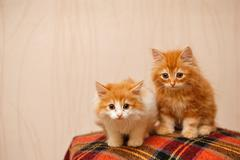 Two cute red kittens sitting on a plaid Stock Photos
