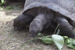 Giant tortoise at Curieuse island eating green leaves Stock Photos