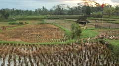 Group of ducks in a rice terraces in Ubud, Bali Stock Footage