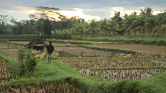 Balinese farmer herds ducks into rice fields at sunset in Ubud, Bali Stock Footage