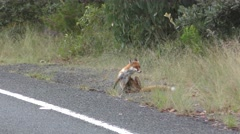 Red Fox in Australia by Road Itching and Scratching Stock Footage