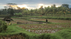 Balinese duck farmer guides his ducks in the rice paddy fields of Ubud, Bali Stock Footage