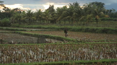 Farmer watching his grazing flock of ducks in a vibrant landscape of Bali Stock Footage