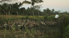Balinese farmer catching a duck in the rice fields in Ubud, Bali Stock Footage