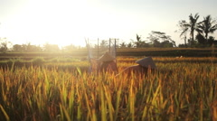 Traditional balinese farmers cutting and threshing rice in fields in Ubud Bali Stock Footage