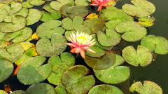 Water lilies Nymphaea HD nature video background. Flower leaves on water surface Stock Footage