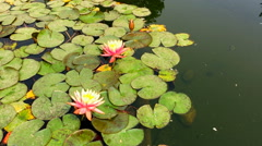 Water lilies Nymphaea HD nature video background. Flower leaves on water surface - stock footage
