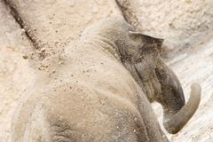 Young asian elephant (Elephas maximus) throwing sand, selective focus Stock Photos