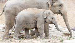 Young asian elephant (Elephas maximus) - stock photo