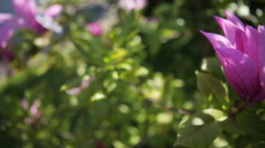 Close up timelapse of white purple lily flowers Stock Footage