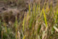 blurry image of rice paddy field - stock photo