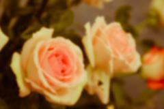 Blurry defocused image of pink roses Stock Photos