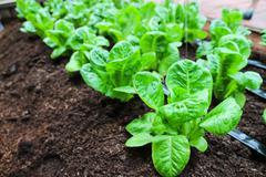 cos lettuce growing in farm - stock photo