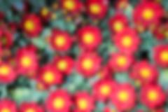 Blurry defocused image of red Chrysanthemum flower Stock Illustration
