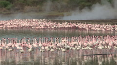 Lesser flamingo at Lake Bogoria Kenya Stock Footage